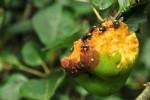 insectos manzana