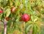 Nectarina, todo lo que debes saber