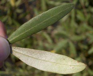 hoja del olivo