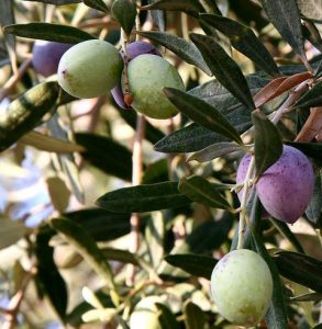 olivas del olivo