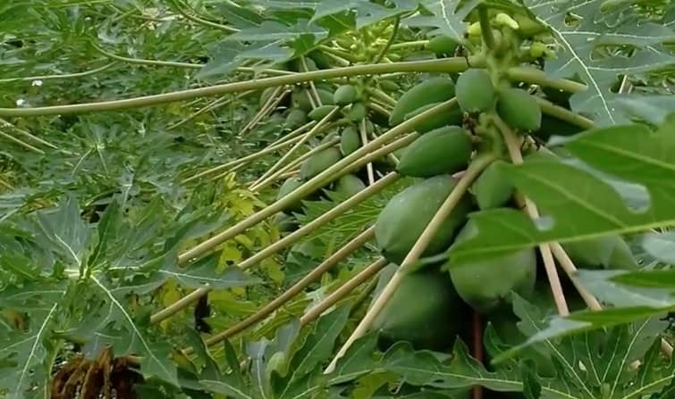 Papaya o lechosa es una fruta que pertenece a la familia de las caricáceas.