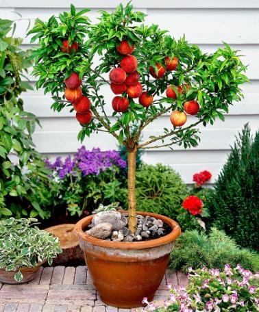Conoce los rboles frutales enanos y sus peculiaridades - Fruit trees in small spaces decoration ...