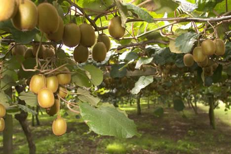 Rboles frutales autof rtiles arboles frutales - Como se podan los arboles frutales ...