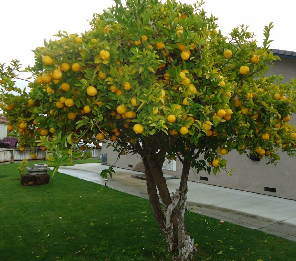 Rboles frutales con poca ra z ideales para tu jard n for Arbol para jardin