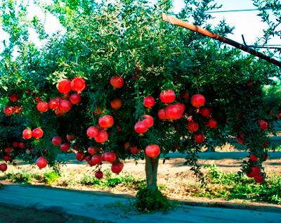 Rboles frutales de clima mediterr neo arboles frutales for Arboles frutales para jardin