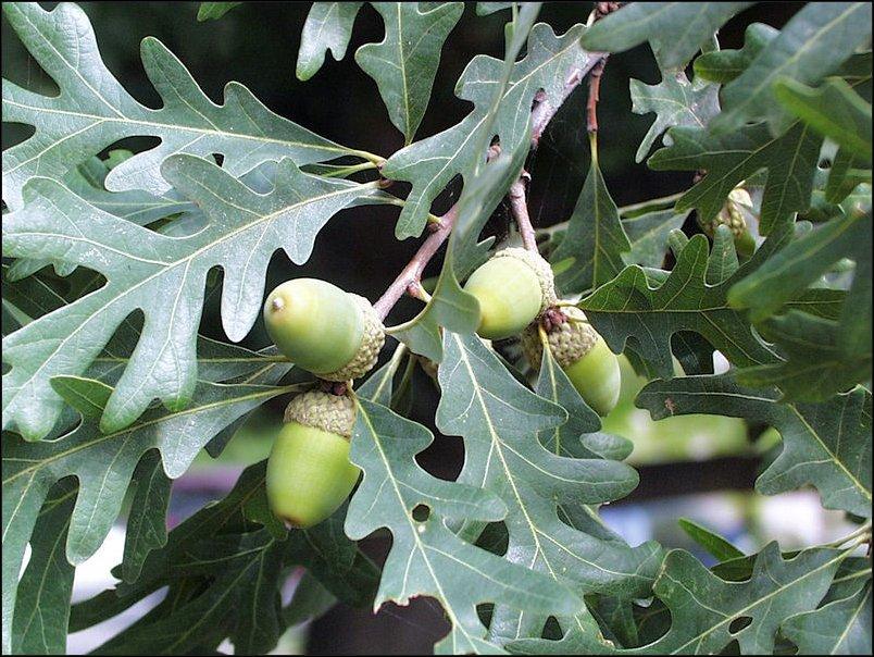 Rboles frutales de hoja perenne arboles frutales for Arboles para veredas hojas perennes