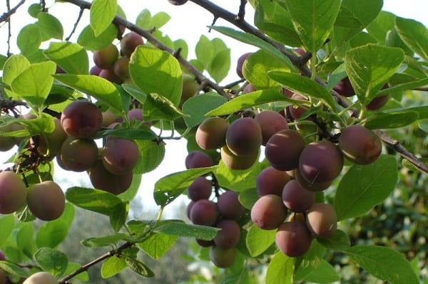 Ciruelo todo lo que debes saber arboles frutales for Arboles frutales de hoja caduca