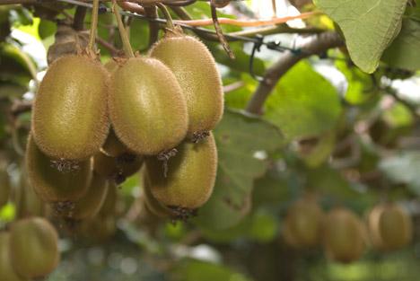 New Zealand, North Island, Bay of Plenty, Kiwi Fruit, Te Puke