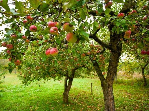 Manzano todo lo que debes saber arboles frutales for Arboles frutales de hoja caduca