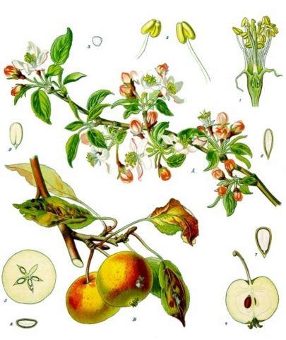 caracteristicas del manzano