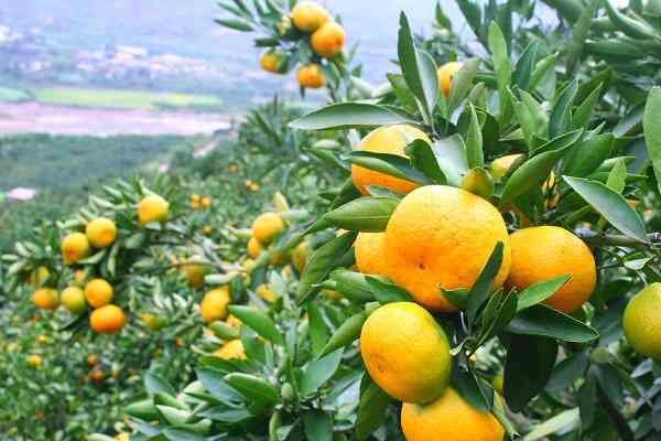 arbol frutal de la mandarina