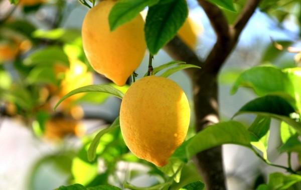 árboles frutales en el hogar