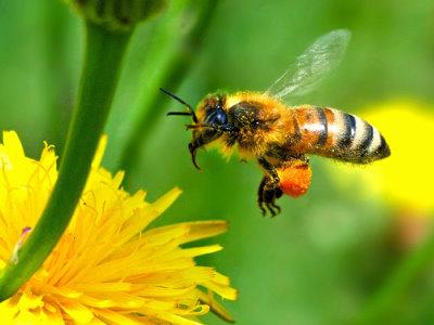 abeja polinizando arboles frutales