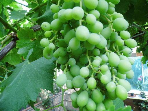cultivar uvas