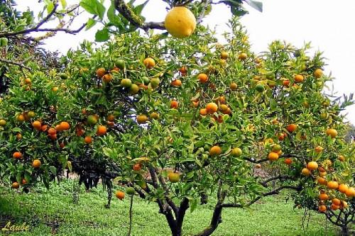 Cosas que debes saber sobre los rboles frutales arboles for Arbol con raices y frutos