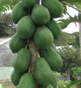 Papaya es una fruta que pertenece a la familia de las caricáceas.