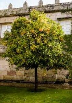 Rboles frutales que dan sombra arboles frutales for Arboles frutales de hoja perenne para jardin