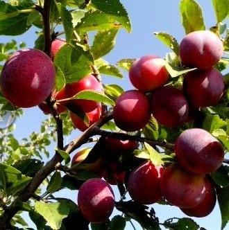 aclareo de árboles frutales - ciruelo