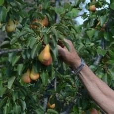 aclareo de árboles frutales - peral