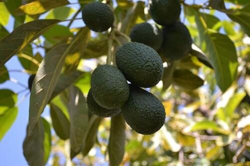 árbol frutal del aguacate