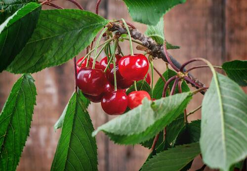 Árbol frutal del cerezo