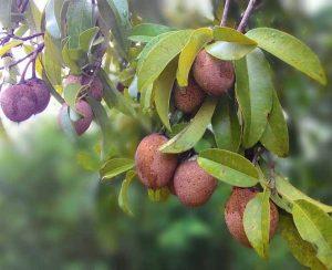 árboles Frutales De Guatemala Arboles Frutales