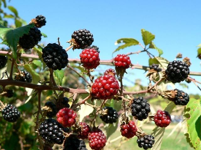 morera fruto