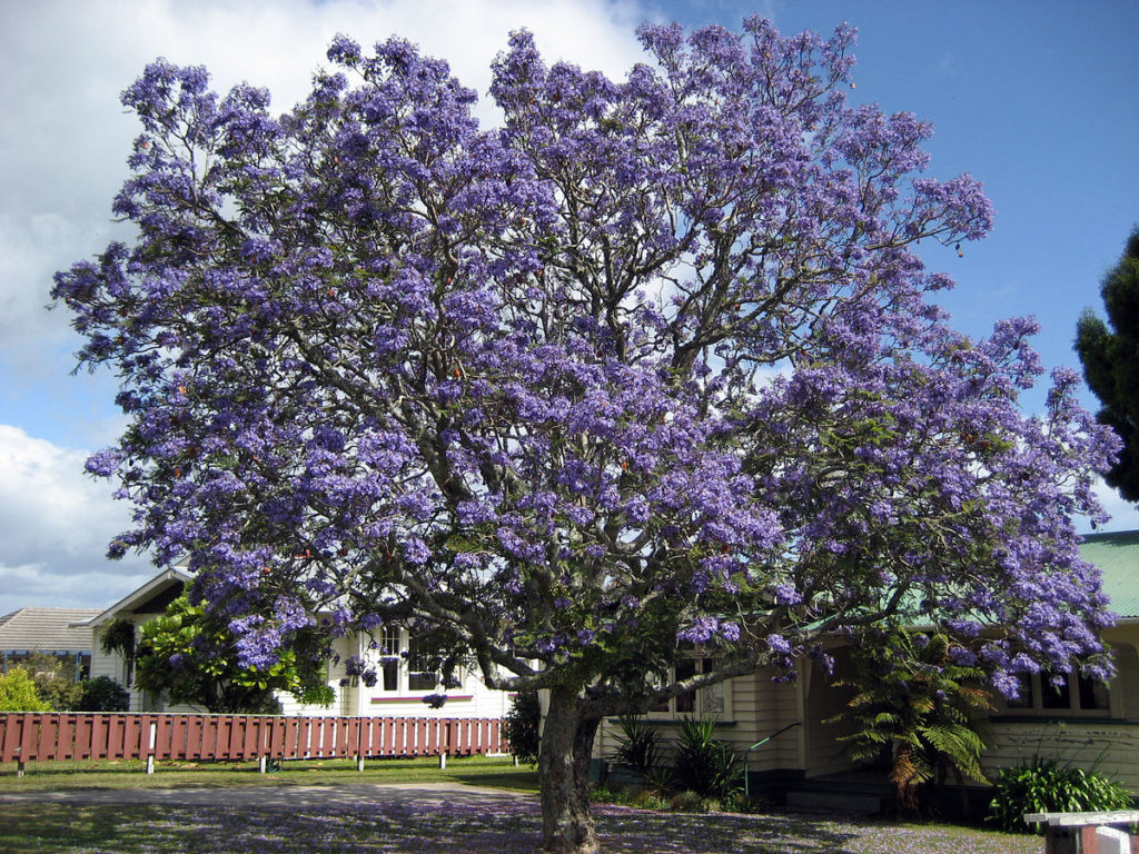 árbol jacaranda