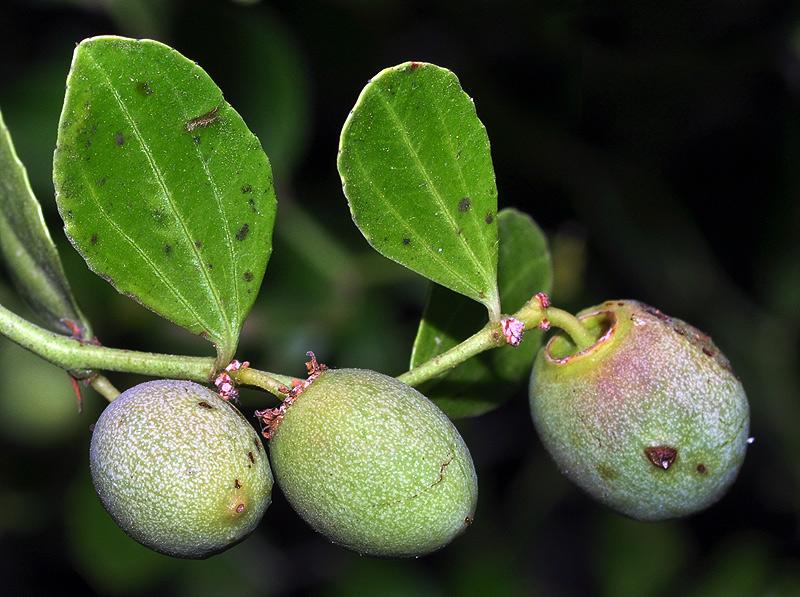 azufaifo fruto