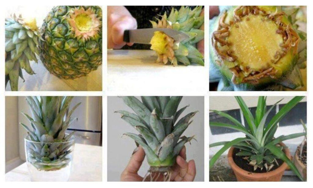 plantar una piña en tu casa