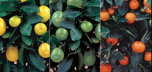 árboles frutales cítricos
