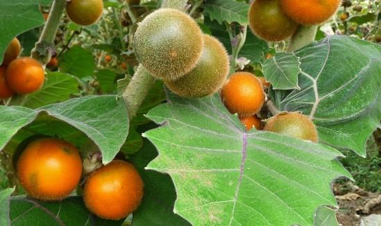 El lulo o naranjilla
